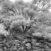 老虎笏 Lo Fu Wat 2011-03-05