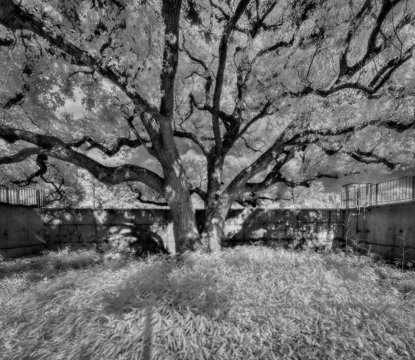 2012-05-02-南華莆-老樟樹